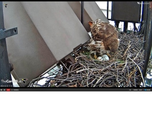 Big Red Inspects Her Eggs