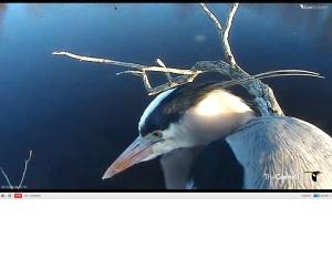 Great Blue Heron Dad