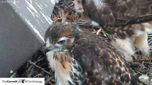birdcamhawks