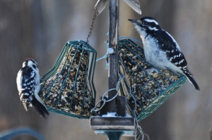 Male Downy Woodpecker and Female Hairy Woodpecker