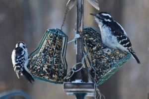 Male Downy Woodpecker and Female Hairy Woodpecker