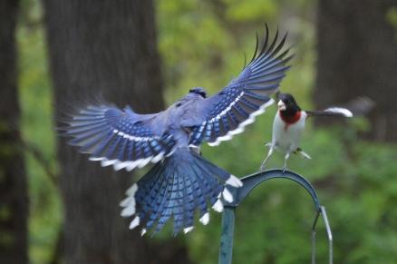 BlueJay and Rose-breasted Grosbeak