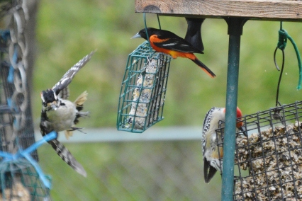 Hairy Woodpecker and Baltimore Oriole
